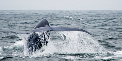 Blue Whale watching in Sri Lanka