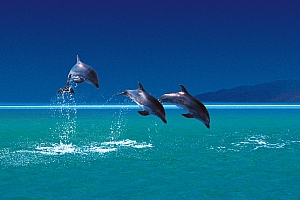 Playful dolphins in Sri Lanka