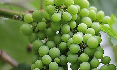 Wine of Malta